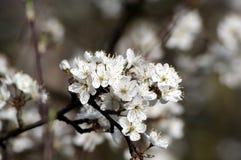 Vit blomning för äppleträd royaltyfri fotografi