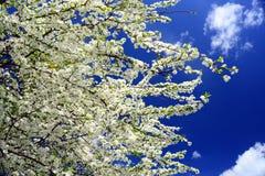 Vit blomning för Caucasian plommon och blå himmel Arkivfoton