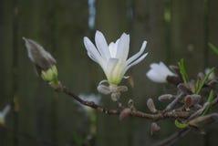 Vit blomning för magnolia Royaltyfria Foton