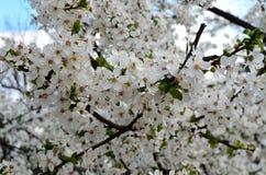 Vit blomning för vårblommor Arkivbilder