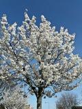 Vit blomning och himmel arkivfoto