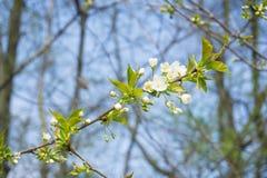 Vit blomning på våren royaltyfri bild
