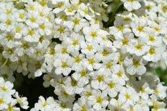 Vit blomning, spiraea Arkivfoto