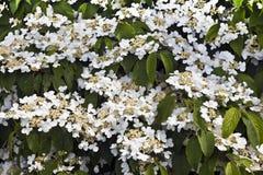 Vit blomningbuske royaltyfri foto