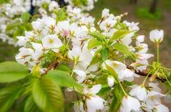 Vit blomningCherry Sakura blomma Fotografering för Bildbyråer