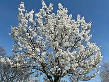 Vit blomninghimmel Royaltyfri Foto