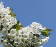 Vit blomstrar med den blåa himlen i bakgrunden Royaltyfria Foton