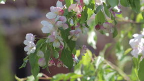 Vit blomstrar på ett dekorativt träd stock video
