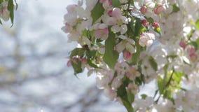 Vit blomstrar på ett dekorativt träd lager videofilmer