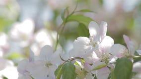 Vit blomstrar på ett dekorativt träd arkivfilmer