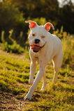 Vit boxarehund med det blåa ögat Royaltyfri Foto