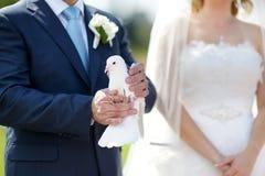 Vit bröllopduva på brudgums händer Fotografering för Bildbyråer