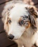 Vit brunt, svart australisk herde med blåa ögon Arkivbilder