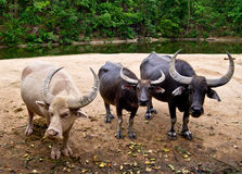 Vit buffel Arkivfoto