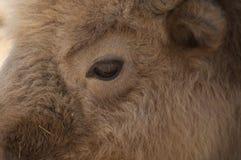 Vit buffel Arkivbild