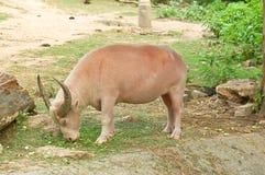 Vit buffel (albinobuffeln) Royaltyfri Fotografi