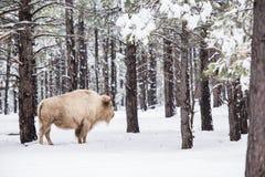 Vit buffel i skog Royaltyfri Foto