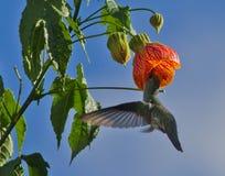 Vit-buktad kolibriAmazilia chionogaster Arkivbilder