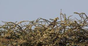 Vit-buktat går-bort fågeln på buskagematning stock video