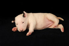 Vit Bull terrier valp över svart bakgrund arkivbilder