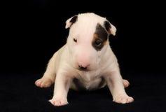 Vit Bull terrier valp över svart bakgrund royaltyfria bilder