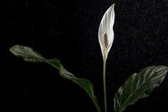 Vit callablomma med regn på svart bakgrund arkivfoton