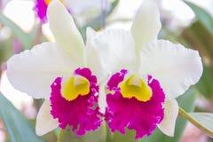 Vit Cattleya orchid Arkivfoto