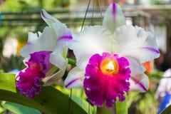 Vit Cattleya orchid Fotografering för Bildbyråer