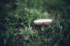Vit champinjon i grönt gräs med daggdroppar Royaltyfria Bilder