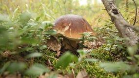 Vit champinjon i höstskogen Arkivfoton