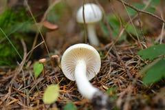Vit champinjon i natur Arkivfoton