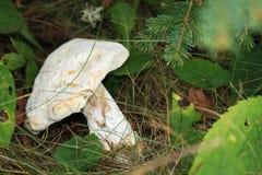 Vit champinjon i nedgångskog Royaltyfria Foton