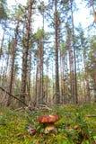 Vit champinjon i skogen arkivbilder