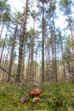 Vit champinjon i skogen royaltyfri foto