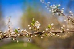 Vit Cherry Flowers Branch Spring Sunny dag Royaltyfri Fotografi