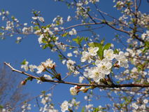Vit Cherryblomning Royaltyfria Bilder