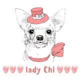 Vit Chihuahua med den rosa drog ståenden för hatt hand Royaltyfria Bilder