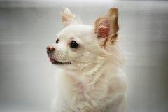Vit Chihuahuahund som ser kameran royaltyfri foto