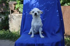 Vit chihuahuahund som sitter på en blå torkduk arkivbilder