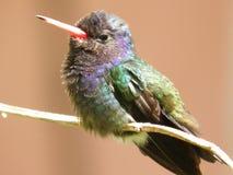 Vit chinned Sapphire Hummingbird Arkivbilder