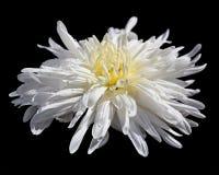 Vit chrysanthemum arkivfoton