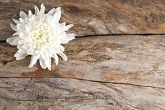 Vit chrysanthemum royaltyfri fotografi