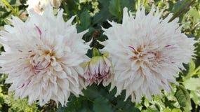 Vit Chrysanthemumblomma royaltyfria foton