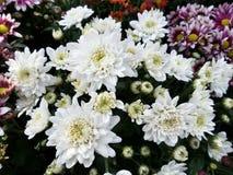 Vit chrysanthemumden arkivfoto