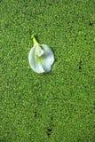 Vit Clitorea ternateablomma på de gröna vattenpaljetterna Royaltyfri Foto