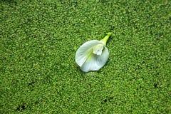 Vit Clitorea ternateablomma på de gröna vattenpaljetterna Fotografering för Bildbyråer