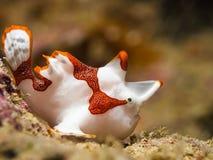 Vit clown Frogfish arkivbild