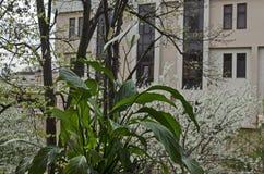 Vit cochlearispathum för fredlilja eller Spathiphyllum i den blommande trädgårds- bakgrunden för vår Fotografering för Bildbyråer