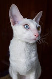 Vit - cornish Rex Cat på brun bakgrund fotografering för bildbyråer