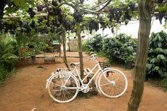 Vit cykel i vingård Royaltyfria Bilder